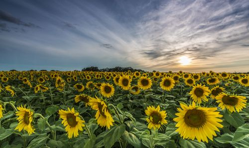 sunflower field in sun prairie wi